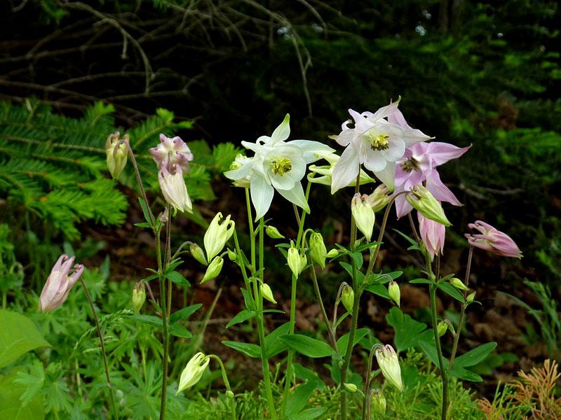 Lots of columbine in the wildflower garden (alt)