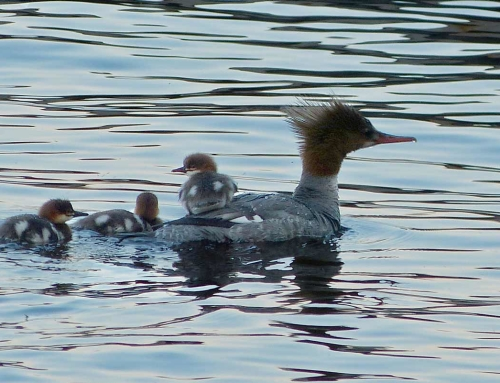 Merganser Chick Catching A Ride