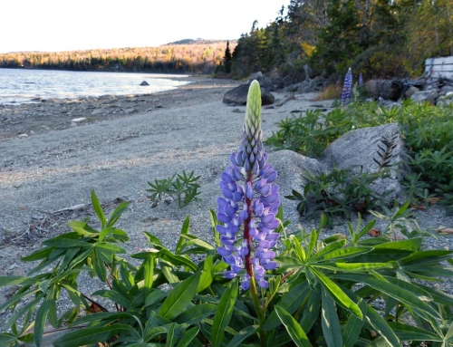 Lupine, Asian Lady Beetles And Other October Stuff
