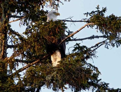 Dreaming Eagle