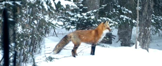 Barking fox