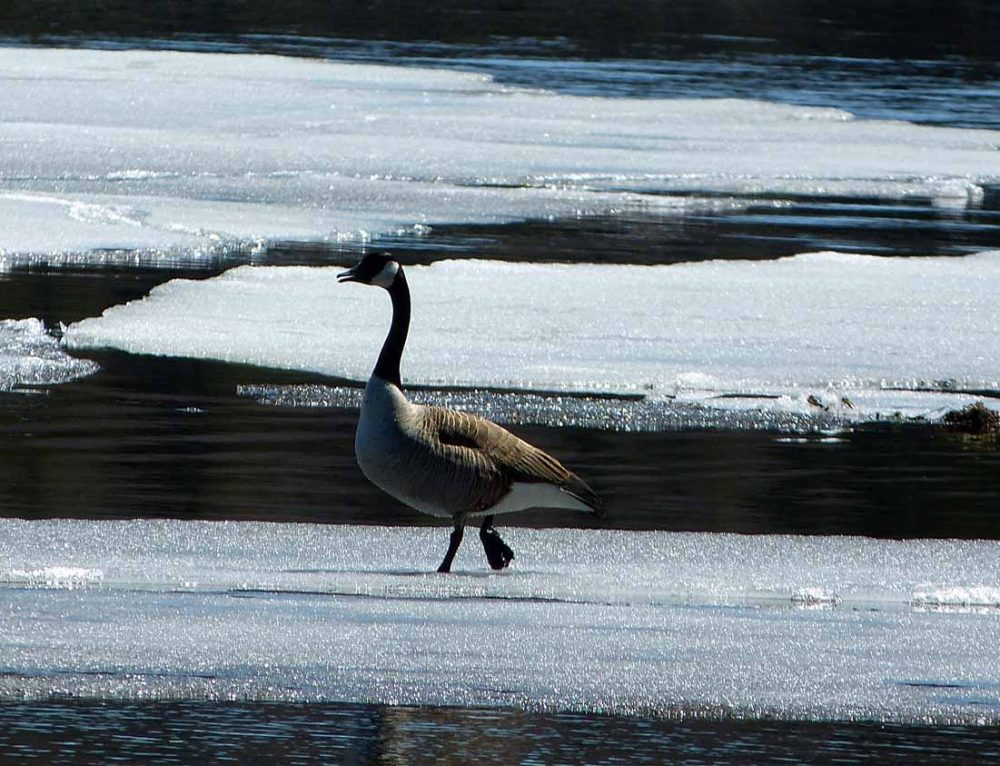 Geese Navigating The Ice Floes
